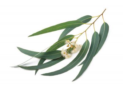 Eucalyptus à Cryptone.