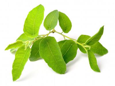 Eucalyptus Citronné.