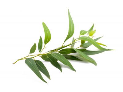 Eucalyptus Officinale  Radié.