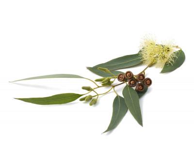 Eucalyptus Smithii.